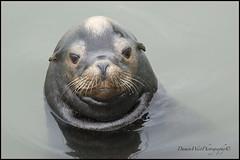 Sea Lion 001 web (DAMON WEST www.damonwestphotography.com) Tags: sealion nature wildlife whiterock bc canada
