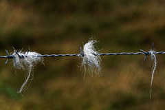 Remnants of passers by (Welsh fella) Tags: pentax pentaxlife wales wool barbedwire northwales