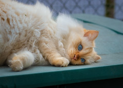 The lazy life (FocusPocus Photography) Tags: tofu dragon katze kater cat faul lazy tier animal langhaarig longhaired