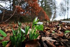 Early Snowdrops (eric robb niven) Tags: ericrobbniven scotland dundee springwatch