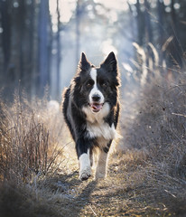 Raksa (czypek) Tags: dog border collie animal majestic nature pet cute portrait mammal background bokeh domestic purebred outdoor forest pedigree canine puppy fur australian red adorable awesome nostalgic isolated