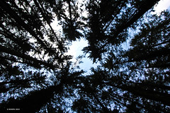 Im Wald (holdinghausenm) Tags: baum bäume trees alberi arbres wald forst forest forêt woods outside outdoors heaven himmel ciel cielo landschaft natur landscape nature photopassion unlimitedphotos canon60d eos60d canonphoto