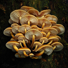 Enoki take (ⒶZ-Photo) Tags: olympus omdem5ii mzuiko1240mm28 focusstacking combinezp darktable pilz makro mushroom macro samtfusrübling velvetfoot flammulinavelutipes