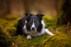 Paddy Power (JJFET) Tags: border collie dog sheepdog herding