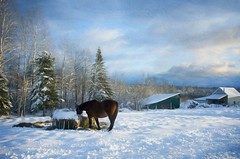 A winter day (Jocelyne Deneau) Tags: winter winterlandscapes snow horses cold landscapes c beautiful
