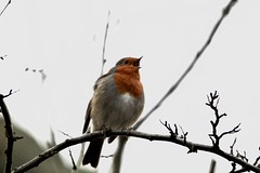 Sing sing little robin (jriveagh) Tags: robin photography learning canonofficial birdwatchuk red bird canon