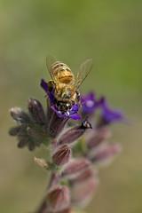 Bee collecting pollen (ManuelGerhart) Tags: bee bees insect macro nature green biene bienen blumen blume flower pollen collecting natur cute