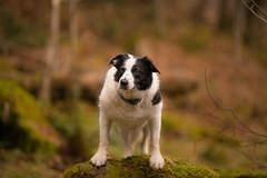 The Auntie Elk (JJFET) Tags: border collie dog sheepdog herding