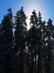 Sunny and Snowing! (Anthony Mark Images) Tags: sunny snowing tallfirtrees bluesky johnstoncanyon banffnationalpark banff alberta canada pretty snowcoveredtrees sun nikon d850 flickrclickx