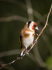 Goldfinch (Maria-H) Tags: goldfinch cardueliscarduelis martinmere burscough lancashire uk olympus omdem1markii panasonic 100400
