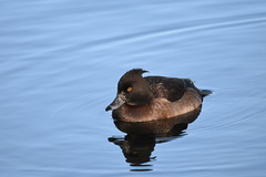 Tufted duck (Deanne Wildsmith) Tags: duck bird tuftedduck staffordshire bartonmarina earthnaturelife