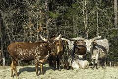 Family Pose (jmajorz24) Tags: aloha safari zoo herd cattle longhorn nature animals grazing farming jason major sony