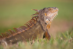 Green iguana (Iguana iguana) (toryjk) Tags: iguana wildlife wild nautre invasive species lizard sun dragon green