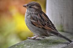 City sparrow in the Winter! (Nina_Ali) Tags: sparrow bird nature avian leicester nikond5500 ninaali