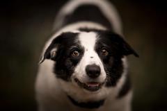 The Calculating Mind (JJFET) Tags: border collie dog sheepdog herding