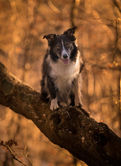 Another Aboreal Oddity (JJFET) Tags: border collie dog sheepdog herding