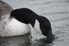 Canada goose (Deanne Wildsmith) Tags: goose canadagoose bird staffordshire bartonmarina