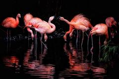 Chilean Flamingo face-off! (Nina_Ali) Tags: flamingos birds reflection lowkey lowlight shadows feathers avian twycrosszoo zoo tamworth orange blackbackground nature chileanflamingos