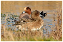 Colourful drake and female Wigeons. (Jeremy Eyeons) Tags: anaspenelope wigeon wildfowl bird duck drake rspb frmptonmarsh lincolnshire winter