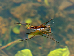 water skipper images
