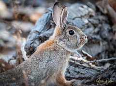 Hello There! (✿ Kerstin Winters Photography ✿) Tags: nikonusa nikondsl sigma nikondigital newmexico outdoor rabbit bunny wildlife animal nikon
