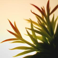 Day 4 : The Art of Living (Randomographer) Tags: project365 366 plant nature succulent green leaf leaves soft organic alive life grow orange minimal light 4 2020 viii
