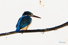 Kingfisher (Dalang55555) Tags: kingfisher カワセミ 翠鳥 olympus omd em10markii 75300mmmzuiko