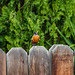 Fence Sitter 01