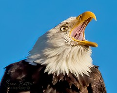 Yawning Bald Eagle (seaneatonphotography) Tags: bald eagle boundary bay delta vancouver britishcolumbia canada bird birds raptors raptor canon wildlife
