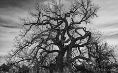 January Cottonwoods (LDMcCleary) Tags: cottonwoods trees winter overcast sky january blackwhite blackwhile newmexico dramatic
