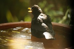 Male Blackbird cooling down (nickant44) Tags: bird bath water blackbird bokeh canon 40d efs 55250mm clarendon australia