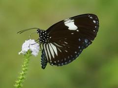 THE MAGPIE CROW - EUPLOEAS RADAMANTHUS (nikolayloginov) Tags: sumatra indonesia суматра бабочка индонезия butterfly animalplanet