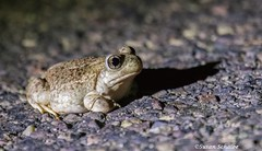 Toad in the road at night (Photosuze) Tags: toads mexicanspadefoottoads animals amphibians nature wildlife arizona