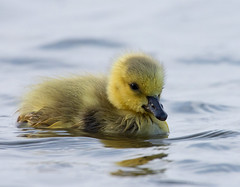 Gosling (v4vodka) Tags: bird birding birdwatching goose canadagoose brantacanadensis wildgoose ges gaska bernikla berniklakanadyjska kanadagans waterfowl longisland gans newyork animal nature
