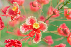 bunch of red fairies (Lr Home) Tags: flower flowers macro a6000 sel30m35