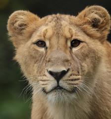 asiatic lion Blijdorp BB2A1410 (j.a.kok) Tags: animal asia azie mammal zoogdier dier cat kat predator blijdorp asiaticlion asianlioncub aziatischeleeuw aziatischeleeuwenwelp leeuw lion pantheraleopersica specanimal