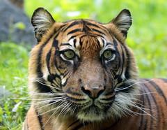 sumatran tiger Alia Blijdorp BB2A1310 (j.a.kok) Tags: animal asia azie mammal zoogdier dier cat kat predator blijdorp tijger tiger sumatraansetijger sumatrantiger pantheratigrissumatrae