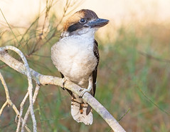 Kwaaa Kwaaa Kwaaa (christinaport) Tags: laughingkookaburra young fledgling nsw australia bird birds wild free kookaburra