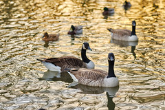 On a golden pond (tonguedevil) Tags: outdoor outside countryside nature winter pond water reflections ripples geese goose ducks light colour shadows sunlight sunset afternoon