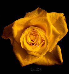 Yellow Rose (Frank Hellmiß2010) Tags: gelberose yellowrose rose blume sony ilce7rm2 fe 50mm f18 pflanze