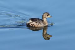 K32P9519c Little Grebe, Lackford Lakes, September 2019 (bobchappell55) Tags: nature wild wildlife lackfordlakes suffolk bird littlegrebe water tachybaptusruficollis