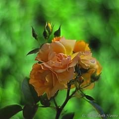 Strauchrose (günter mengedoth) Tags: samyang85mmf14asphericalif samyang 85 mm f 14 aspherical if pentaxk1 pentax pk bokeh blume blüte rose nahaufnahme nature natur