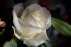 White Rose      Foca Oplarex 50mm f1.9 (情事針寸II) Tags: light flower macro rose oldlens focaoplarex50mmf19 bokeh flowerscolors macrodreams