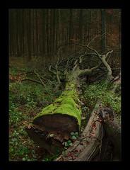The Fallen (Fin Mahlzahn) Tags: europa deutschland niedersachsen scharmbeckstotel wald baum herbst canon eos 1100d europe germany lowersaxony forest tree autumn