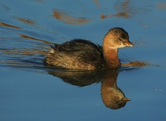 Pied-Billed Grebe at Coyote Hills (Ruby 2417) Tags: grebe bird wildlife nature pond water reflection swim swimming coyote hills fremont marsh wetland wetlands