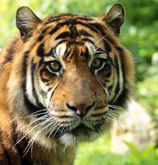 sumatran tiger emas Blijdorp BB2A1336 (j.a.kok) Tags: animal asia azie mammal zoogdier dier cat kat predator blijdorp tijger tiger sumatraansetijger sumatrantiger pantheratigrissumatrae specanimal