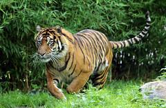 sumatran tiger emas Blijdorp BB2A1366 (j.a.kok) Tags: animal asia azie mammal zoogdier dier cat kat predator blijdorp tijger tiger sumatraansetijger sumatrantiger pantheratigrissumatrae