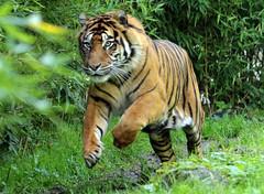 sumatran tiger emas Blijdorp BB2A1370 (j.a.kok) Tags: animal asia azie mammal zoogdier dier cat kat predator blijdorp tijger tiger sumatraansetijger sumatrantiger pantheratigrissumatrae