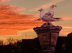 Two Gulls At Sunset (Wes Iversen) Tags: belleisle detroit grandblanc hss michigan nikkor18300mm sliderssunday birds clouds composites houses lampposts nature seagulls silhouettes sunsets texture wildlife