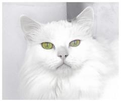 King (merripat) Tags: king cat window selectivecolor selective color gimp littledoglaughednoiret